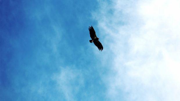 Participa Estado en la liberación de tres ejemplares de Cóndor Californiano en San Pedro Mártir