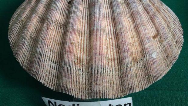 Donan 600 mil semillas  de almeja Mano de León