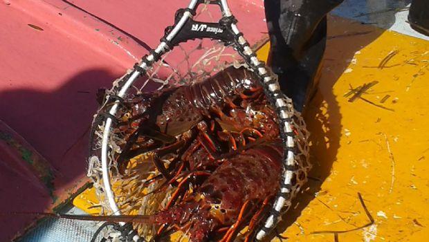 Aumenta pesca de  sardina y langosta