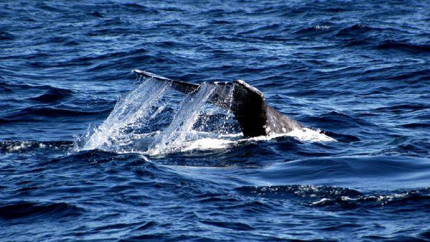 Promueven avistamiento de ballenas
