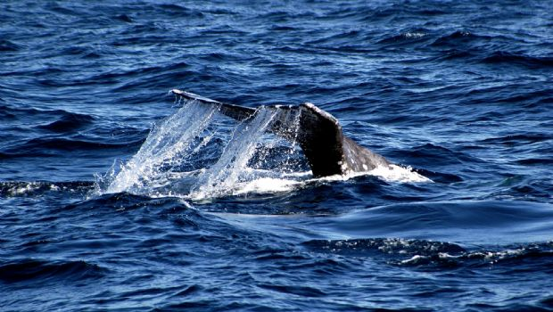 Inicia temporada de avistamiento de ballena gris