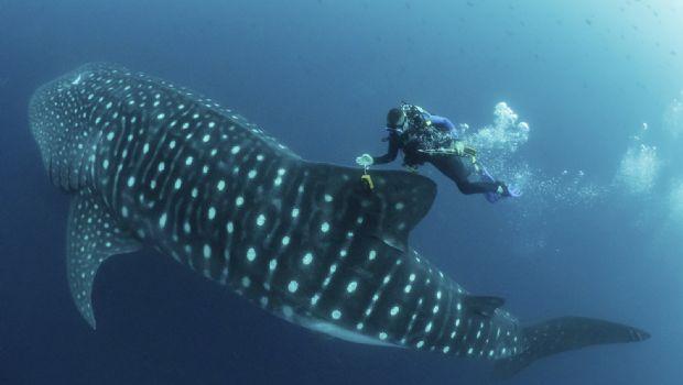 Desentrañan misterios del tiburón ballena