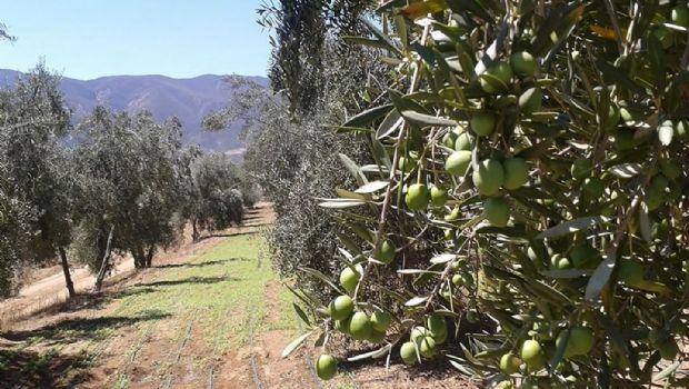 Produce Zona Costa mayoría de aceituna