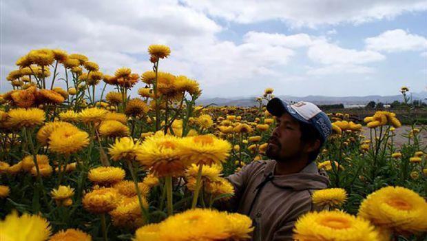 Va 85% de flores a mercado extranjero
