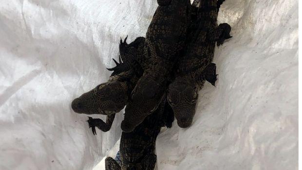 Aseguran 10 cocodrilos bebés en Tijuana