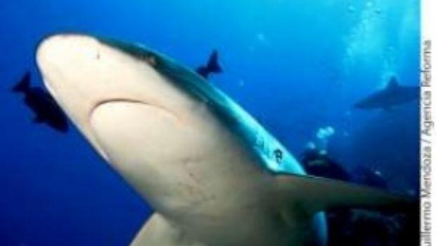 No hay sobreexplotación del tiburón: Canainpesca