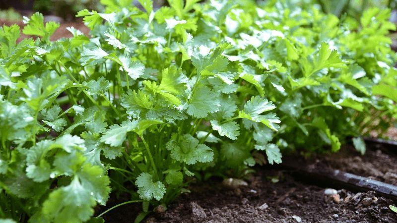 Siembran 552 hectáreas de cilantro y vid: Sader