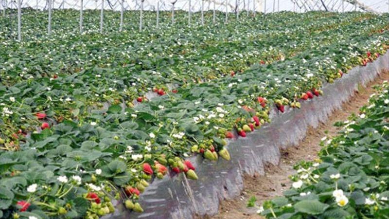 Avanza siembra de fresa en el sur